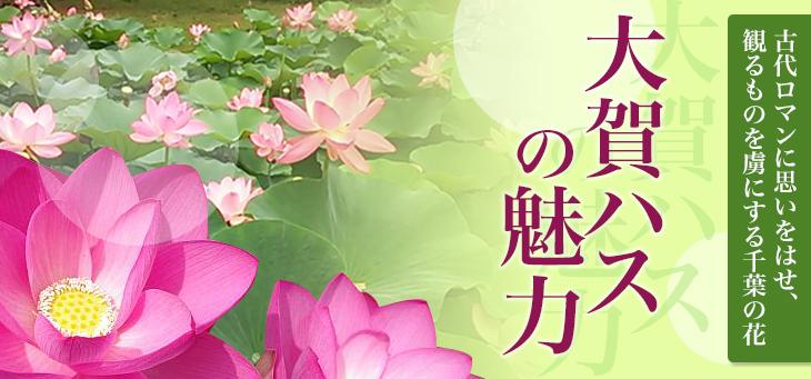 大賀ハスの魅力 | 千葉市観光協会公式サイト/千葉市観光ガイド